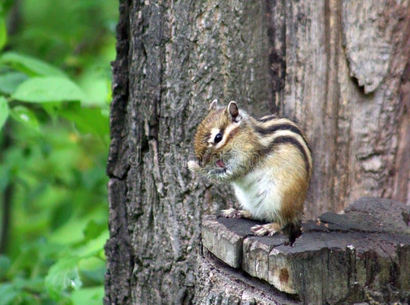 Download 地松鼠 库存图片. 图片 包括有 口鼻部, 开会, 灰鼠, 野生生物, 动物区系, 通配, 花栗鼠, 啮齿目动物 - 72365315