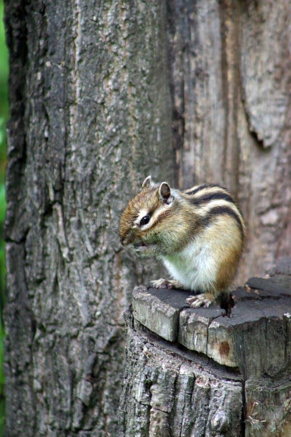 Download 地松鼠 库存图片. 图片 包括有 动物区系, 花栗鼠, 哺乳动物, 口鼻部, 通配, 野生生物, 陆运, 敌意 - 72365733
