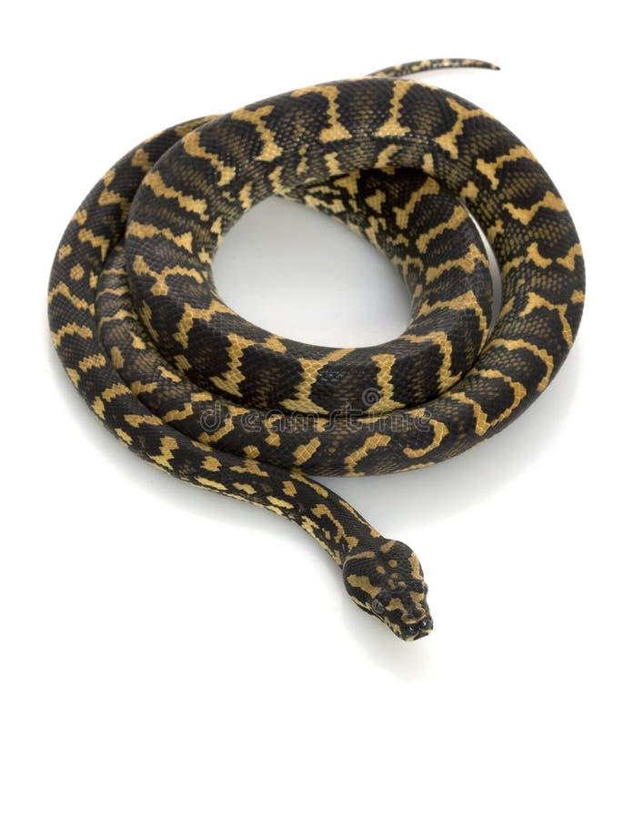 地毯密林Python 库存图片