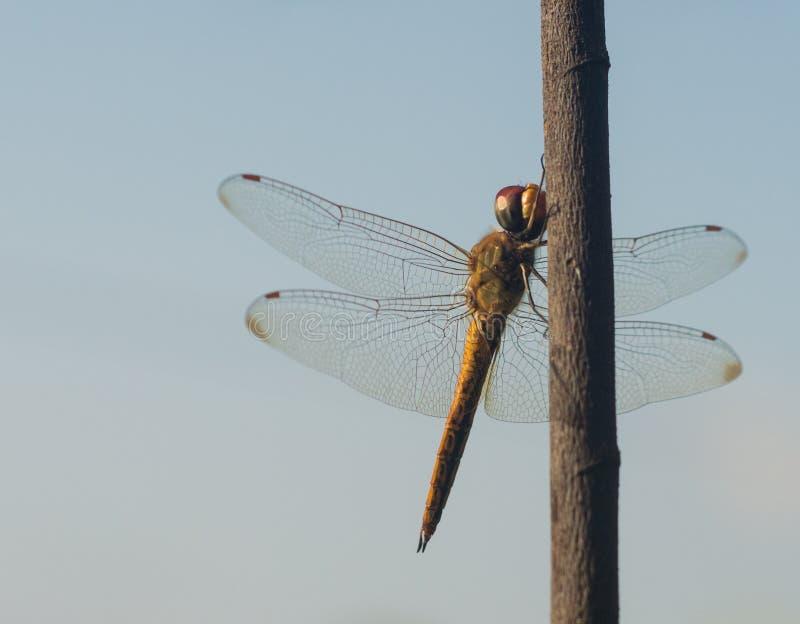 地球在分支的流浪汉蜻蜓 库存照片