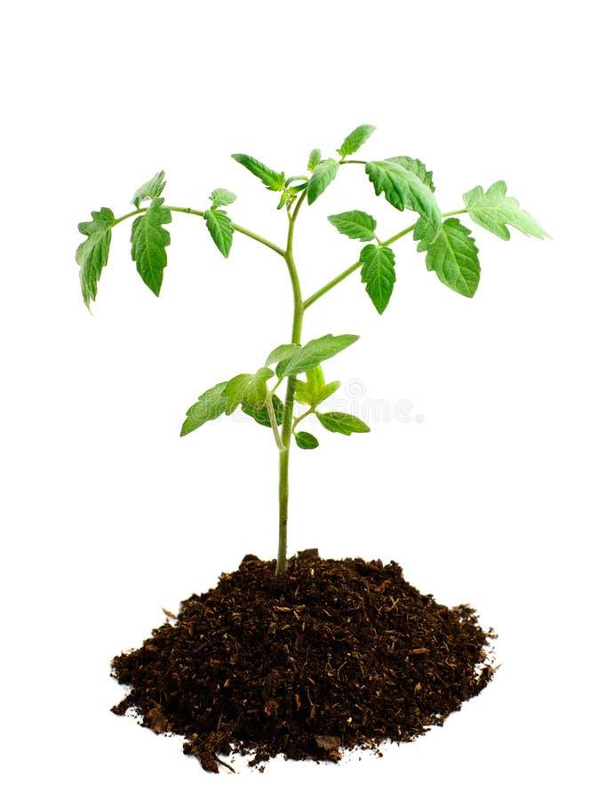 地球幼木蕃茄 免版税库存照片