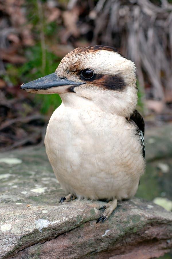 地球澳大利亚翠鸟的kookaburra 免版税图库摄影