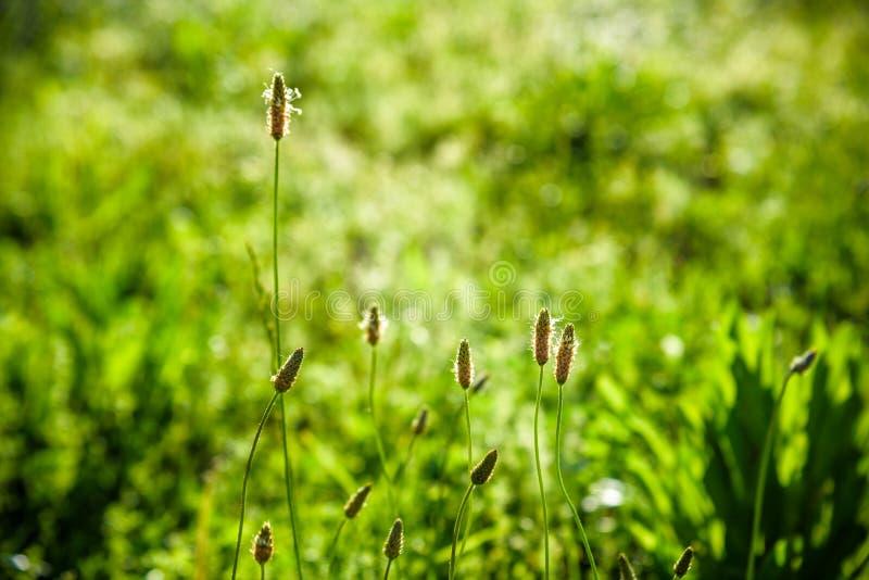 地球风景、成长和自然环境概念-新鲜的草和晴朗的天空蔚蓝在一个绿色领域在日出,自然  免版税库存照片
