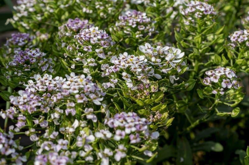 地球candytuft或屈曲花属植物umbellata领域开花 发光由与bokeh作用的太阳的花被弄脏的软的夏天背景  库存照片