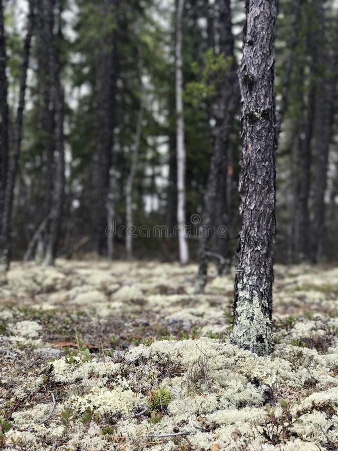 地衣在森林里 图库摄影