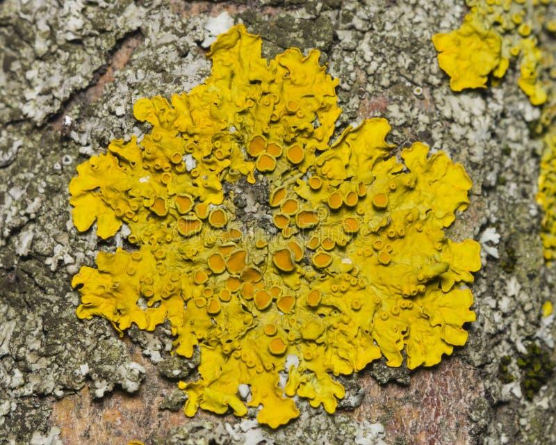 地衣在白杨木树皮宏指令,选择聚焦的Xanthoria parientina 库存图片