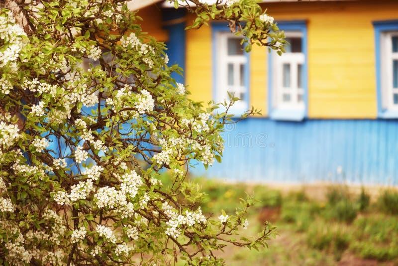 地道老小屋和一棵开花的苹果树附近 乌克兰村庄 图库摄影