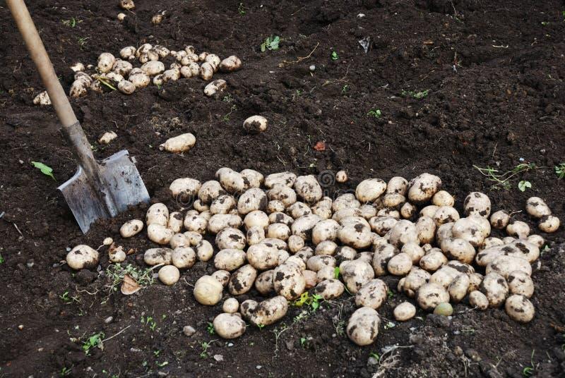 地面土豆铁锹 免版税库存照片