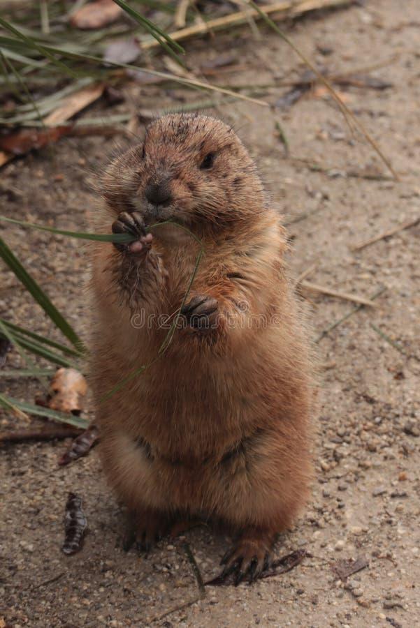 地面松鼠类黄鼠属地鼠,地松鼠 库存图片
