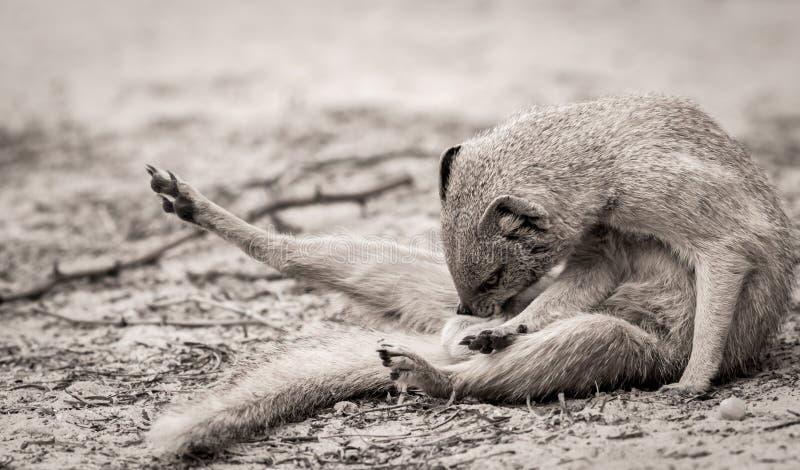 地面猫鼬修饰 库存照片