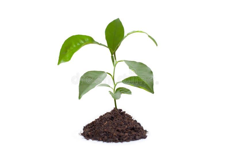 地面的年轻芒果植物 免版税图库摄影