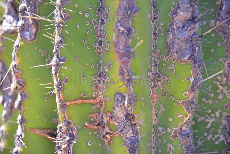 地面蛇沙漠绿色sahuaro特写镜头 免版税图库摄影
