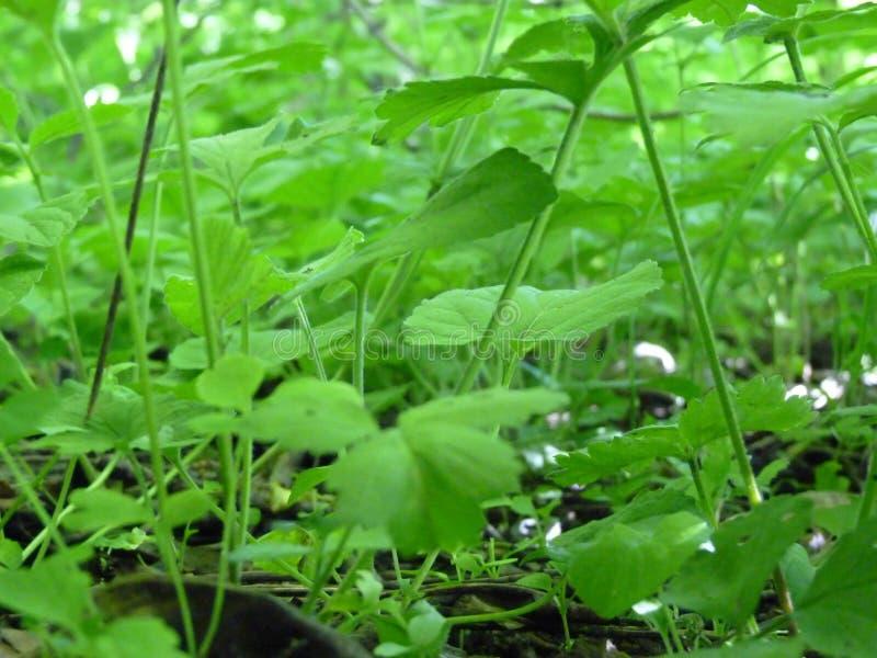 地面覆盖物绿色植物Backgr宏观细节的低关闭  免版税库存照片