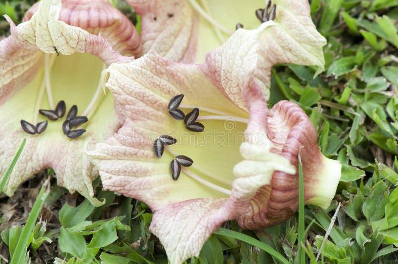 地面金瓜树,墨西哥瓢(Crescentia alata L.)。 免版税库存照片