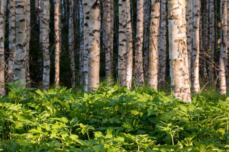 地面长辈狂放的草本叶子在森林里突出了 库存照片
