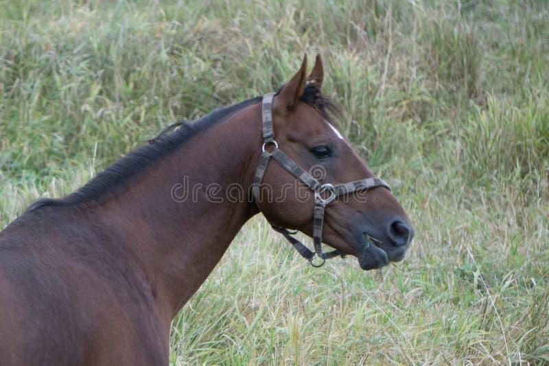 场面公马纯血种马的马头关闭 库存照片