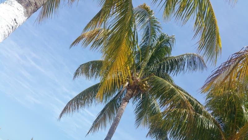 坎昆椰子 免版税库存照片
