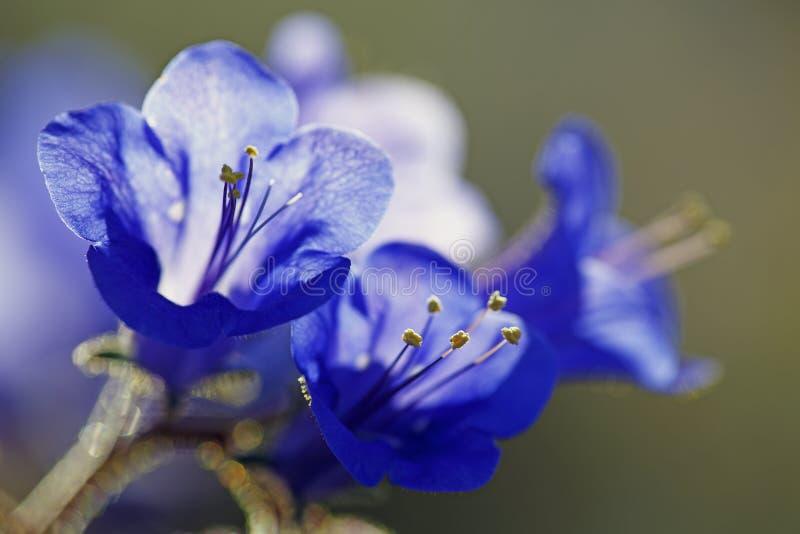 坎特伯雷响铃在约书亚树国家公园,加利福尼亚的春天 免版税库存照片