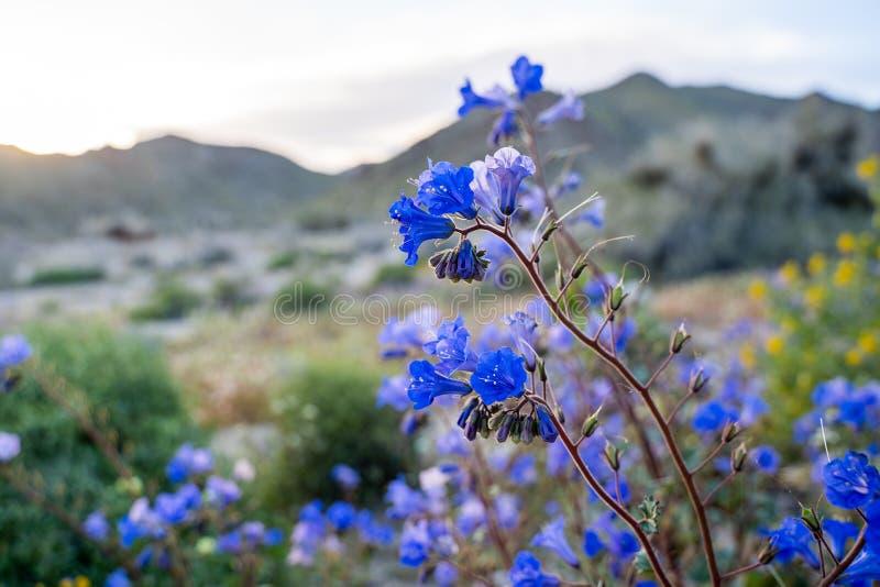 坎特伯雷响铃野花在Californias superbloom响铃野花期间的约书亚树国家公园在约书亚树国民 图库摄影