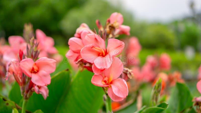 坎纳百合的桃红色瓣的领域知道作为在绿色叶子的印度短的植物或Bulsarana花开花在庭院里 免版税库存图片