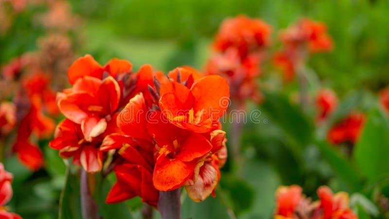 坎纳百合的橙色瓣的领域知道作为在绿色叶子的印度短的植物或Bulsarana花开花在庭院里 图库摄影