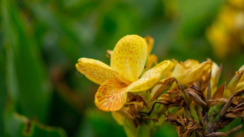 坎纳百合的黄色瓣的领域知道作为在绿色叶子的印度短的植物或Bulsarana花开花在庭院里 库存图片