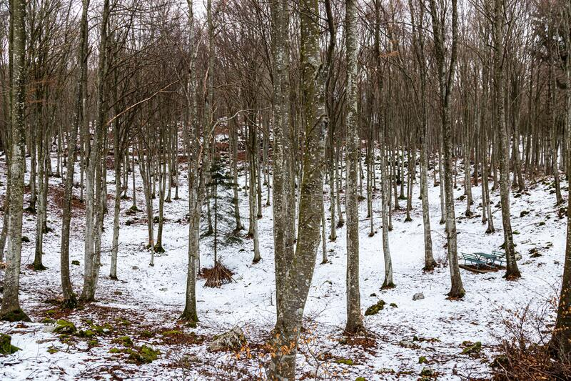 坎西廖森林山毛榉树 库存照片