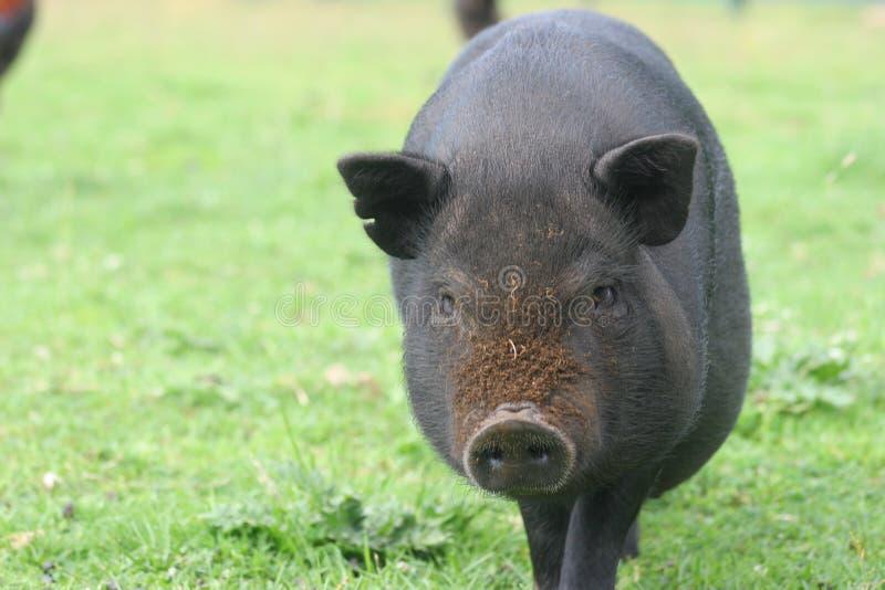 坏的猪 免版税库存照片