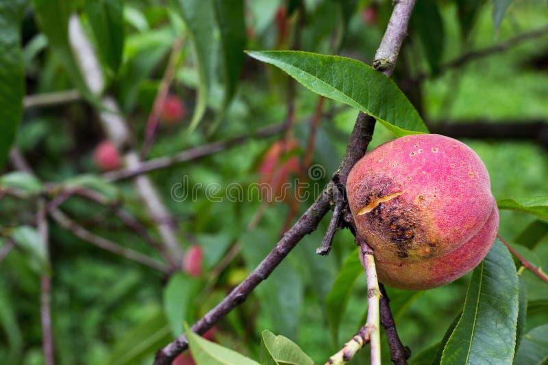 坏腐烂的朽烂伤疤真菌桃树分支枝杈 库存图片