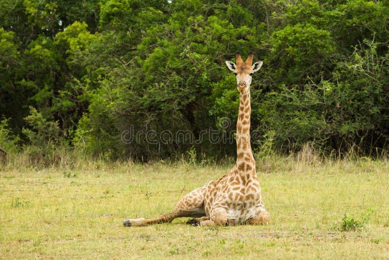 坐下南非的长颈鹿 免版税库存照片
