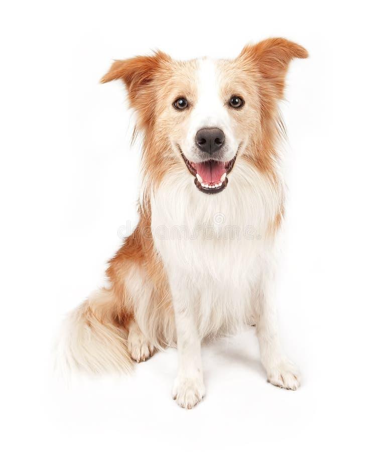 坐下博德牧羊犬的狗 免版税图库摄影