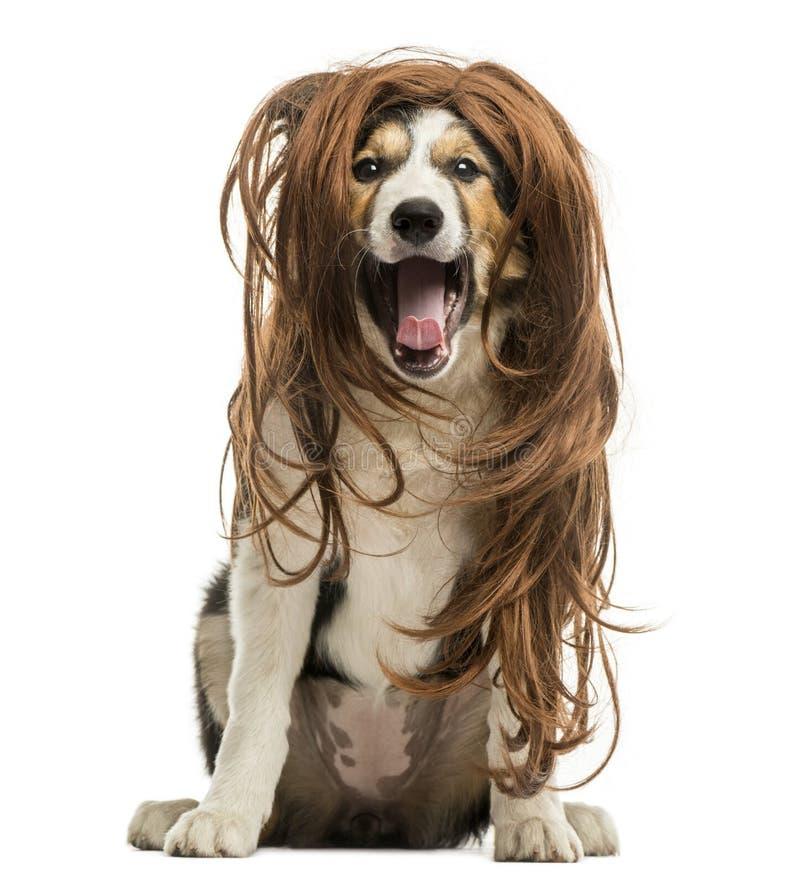 坐与一顶红色头发假发的博德牧羊犬,被隔绝 免版税图库摄影