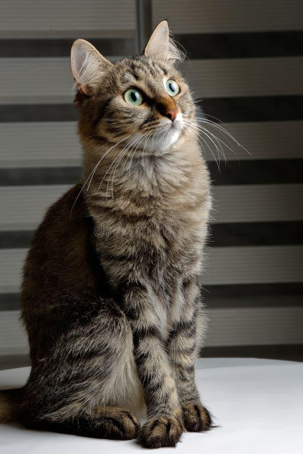 坐与与好奇神色的尊严的逗人喜爱的黑和灰色猫 免版税库存图片