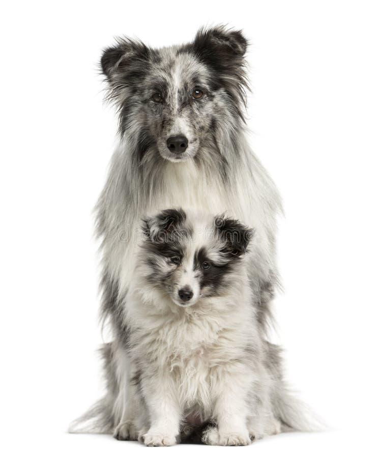坐与她的小狗的设德蓝群岛牧羊犬 免版税库存照片