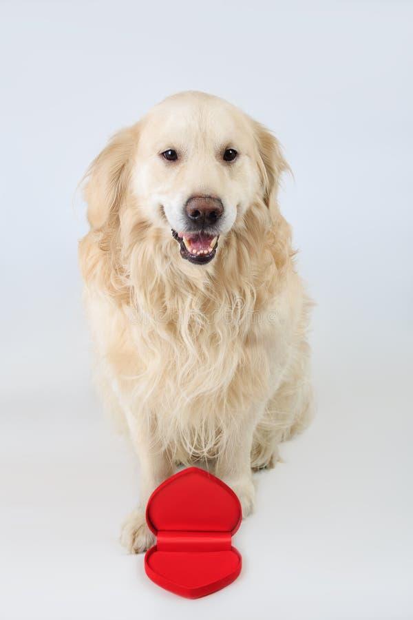 坐与开放心脏形状箱子和看对照相机的可爱的狗金毛猎犬品种 概念亲吻妇女的爱人 免版税库存照片