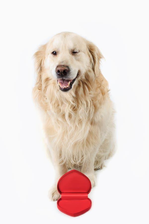 坐与开放心脏形状箱子和闪光的可爱的狗金毛猎犬品种 概念亲吻妇女的爱人 免版税库存照片