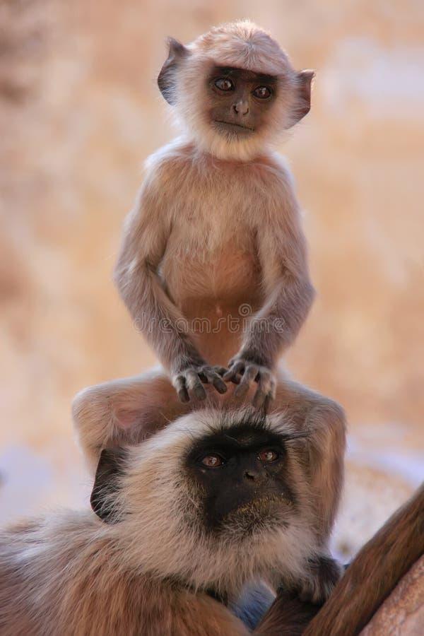 坐与母亲,普斯赫卡尔,印度的婴孩灰色叶猴 库存照片