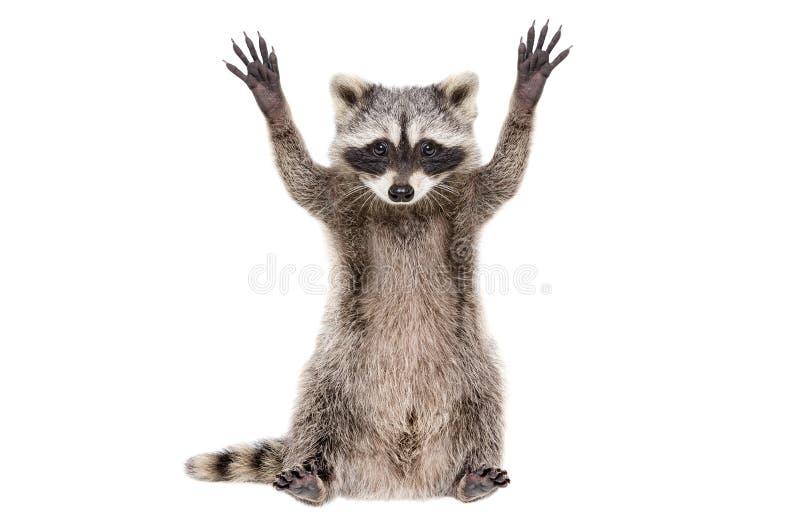 坐与爪子的一头滑稽的浣熊的画象被举 免版税库存图片