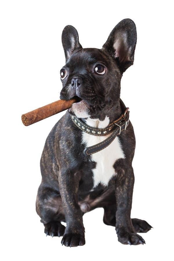 坐与雪茄的狗法国牛头犬 免版税库存照片