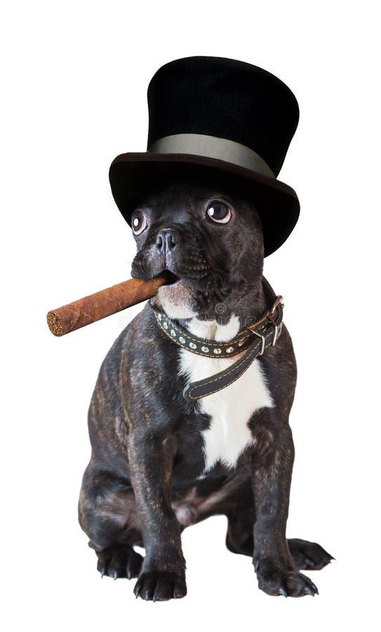 坐与雪茄的狗法国牛头犬 库存图片