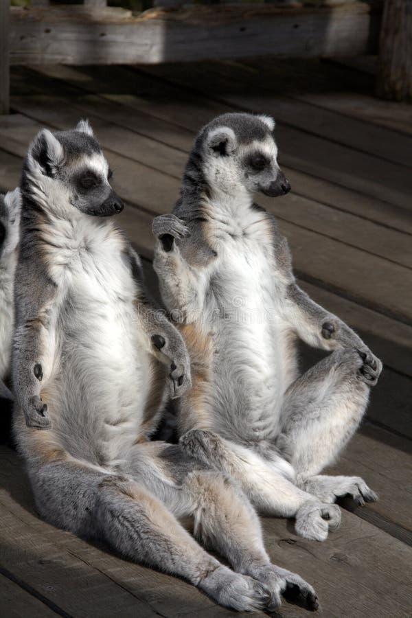 坐二的狐猴 库存图片