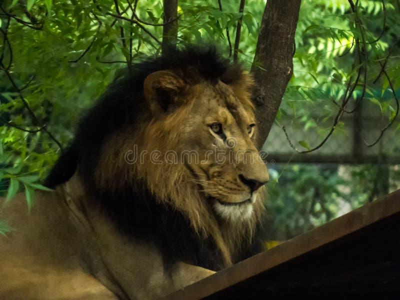 坐充满自豪感的密林的狮子王 免版税库存图片