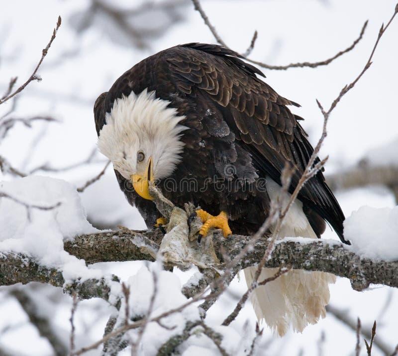 坐分支和吃牺牲者的白头鹰 美国 飞机场 Chilkat河 免版税库存照片