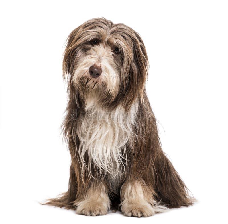 坐反对白色背景的有胡子的大牧羊犬狗 免版税库存图片