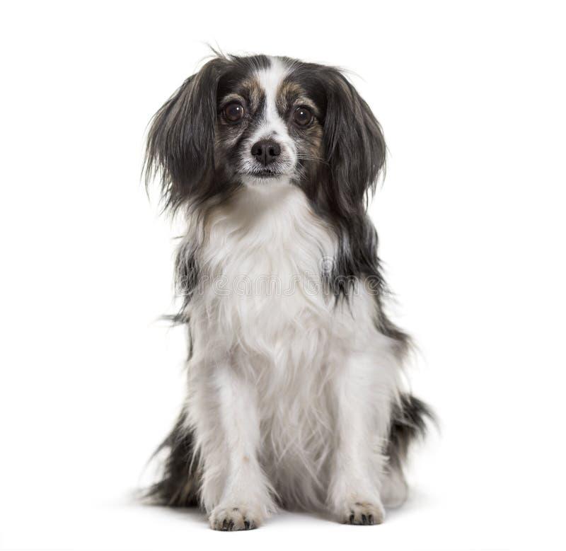 坐反对白色背景的混杂品种狗 免版税库存照片