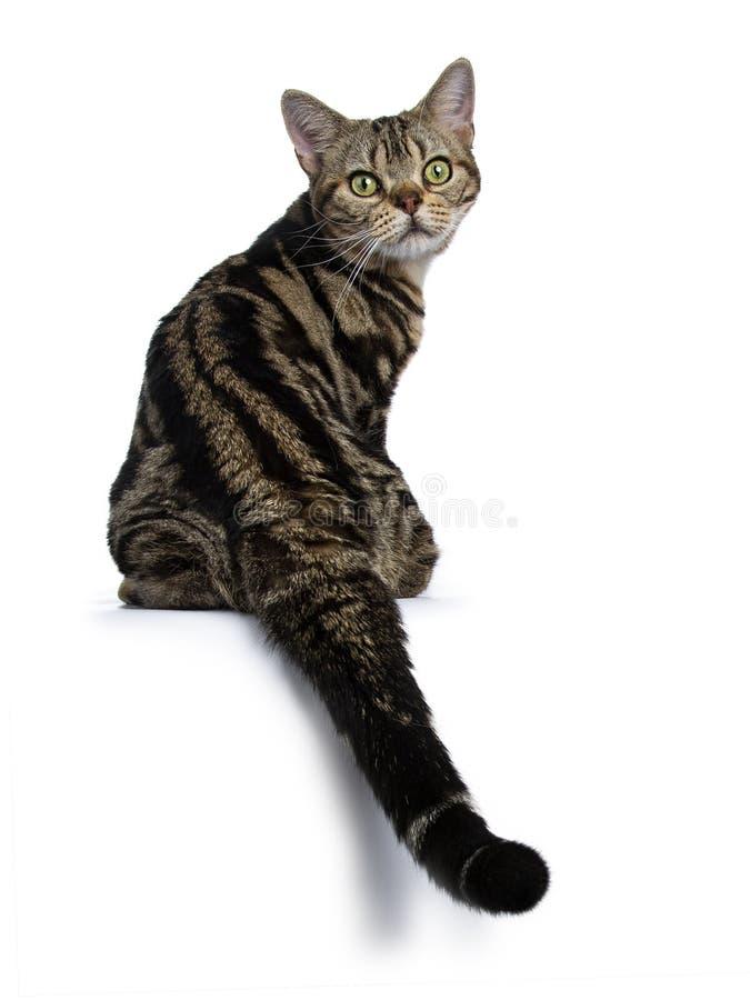 坐向后看的布朗和黑平纹美国人Shorthair猫小猫如果在白色背景隔绝的照相机 免版税库存图片