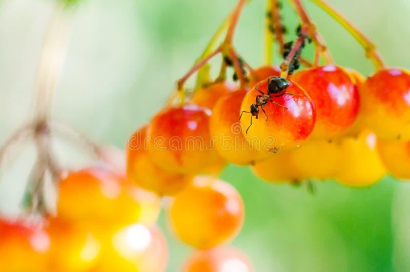 坐和守卫下蛋在荚莲属的植物opulus yelllow红色莓果的蚂蚁在森林里 库存照片