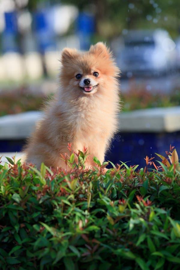 坐和注意在家庭菜园的Pomeranian狗 免版税库存照片