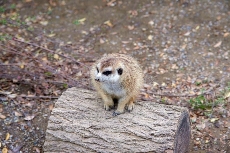 坐和看在日志顶部的小Meerkat 库存照片