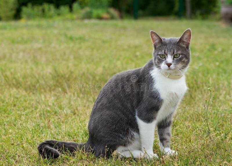 坐和看在露天的一只单独灰色大猫 图库摄影
